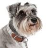 Dog wearing a beautiful dog collar